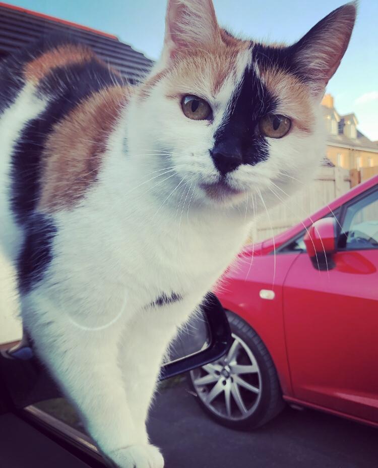 Calico cat Smudge